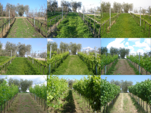 January_June the vineyard evolution